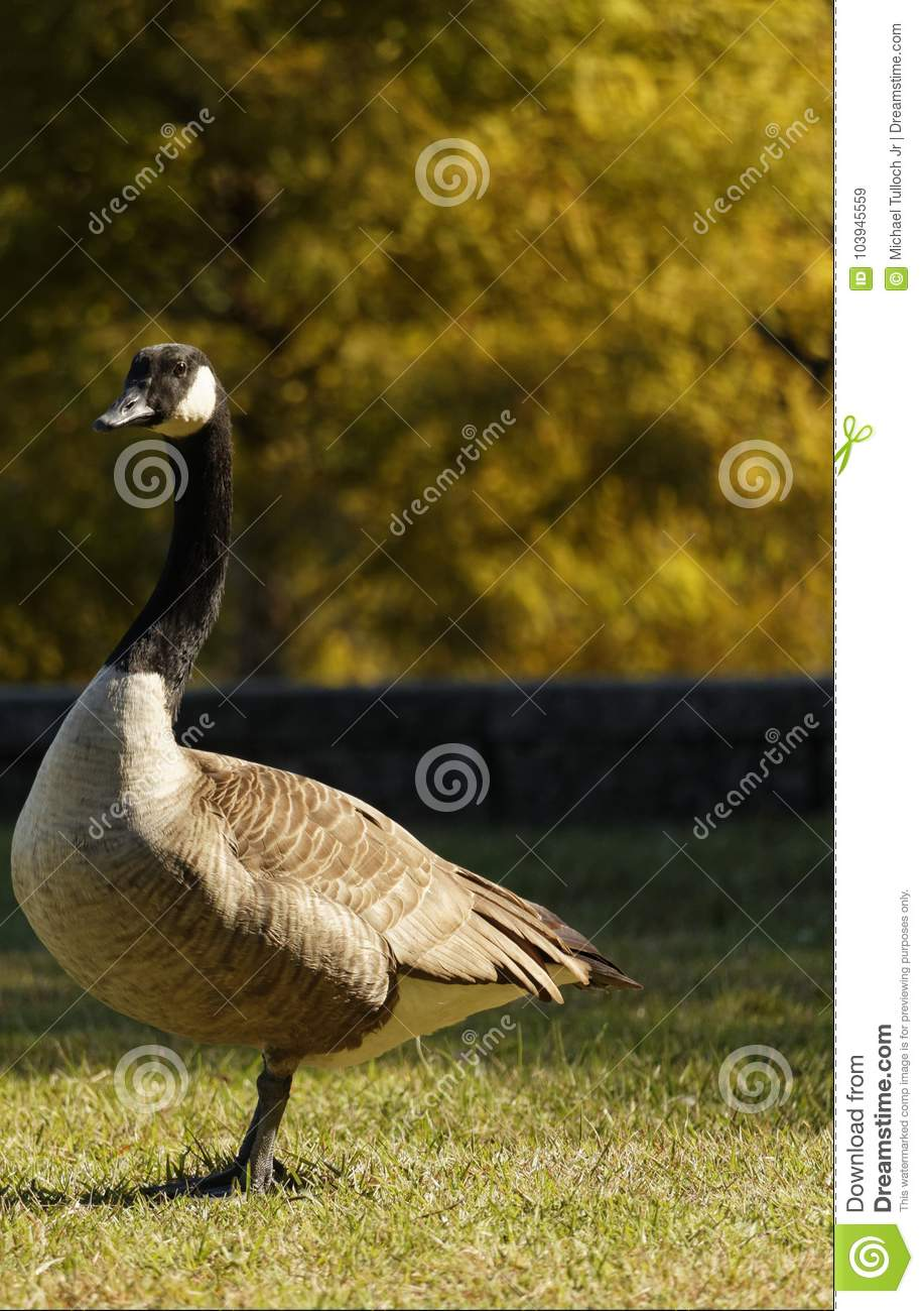 Canadian Goose Looking into the Distance