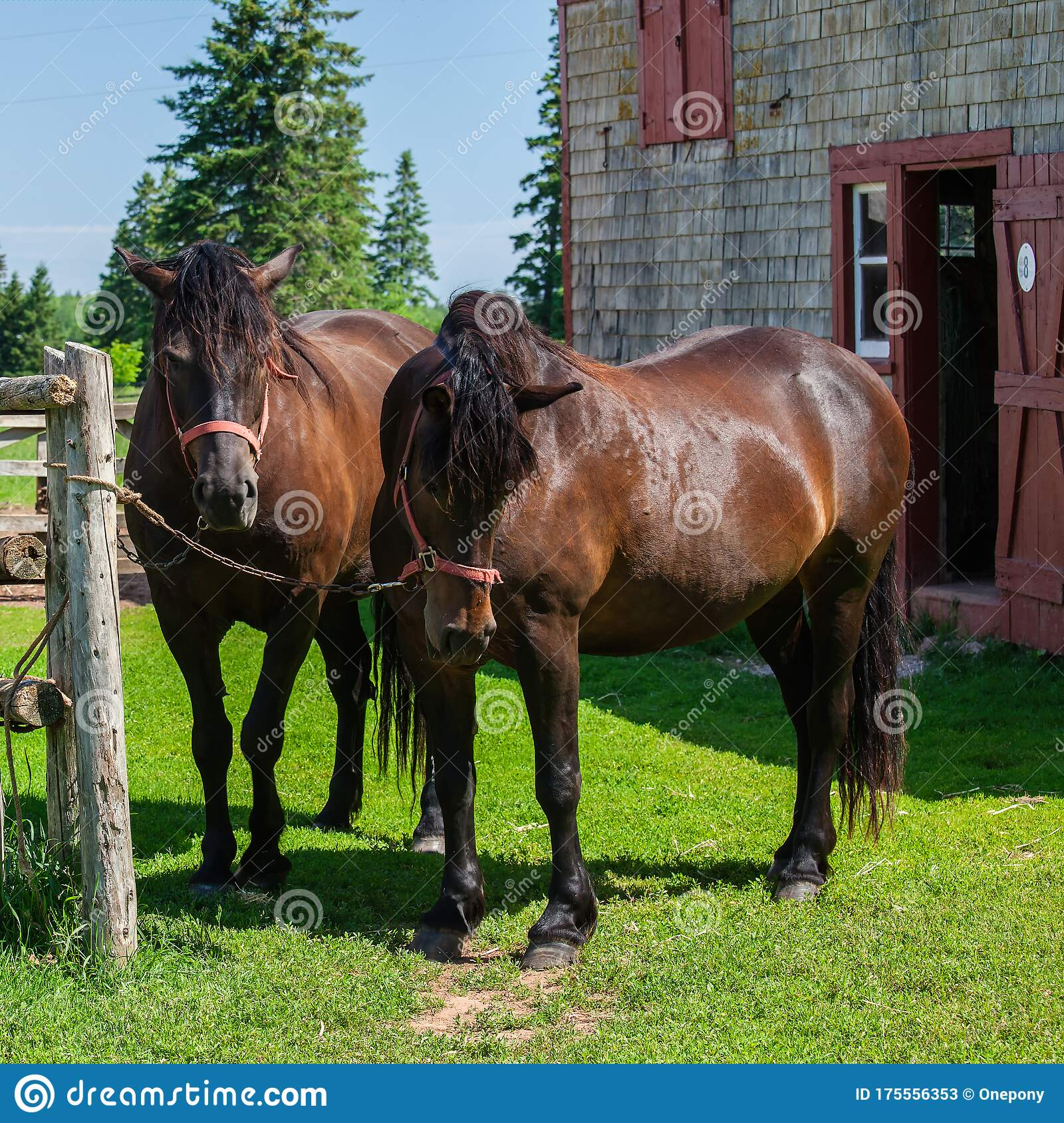 108 Canadian Horse Breed Photos Free Royalty Free Stock Photos From Dreamstime