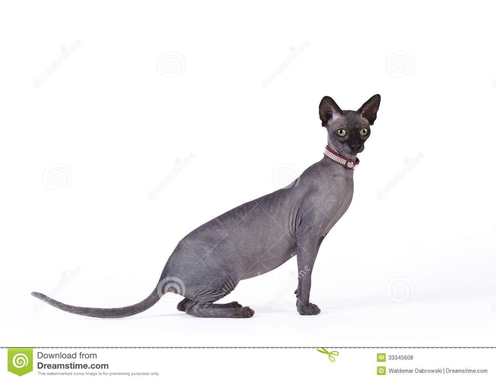 Canadian Sphynx Cat Royalty Free Stock Photos Image