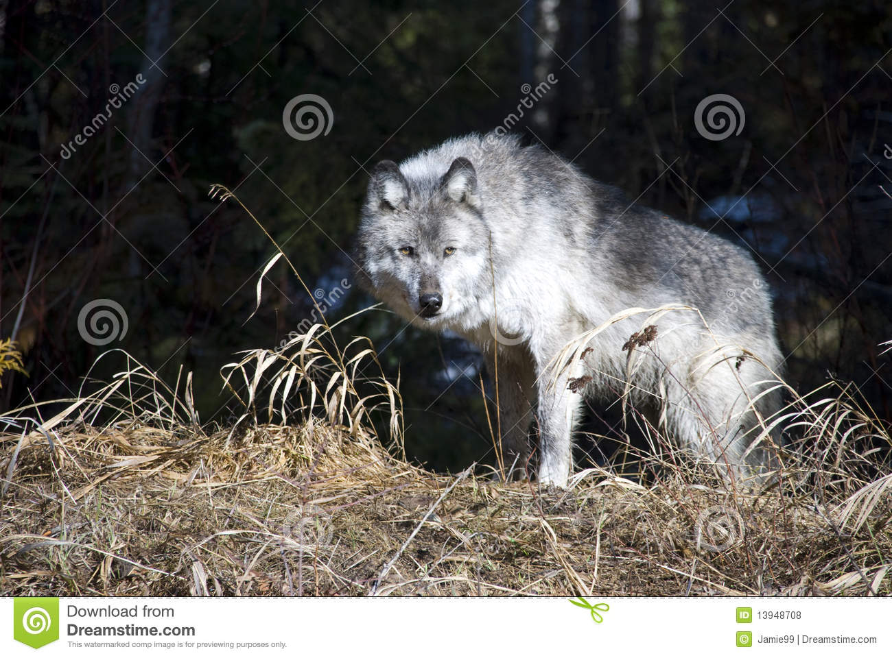 canadian wolf royalty free stock photos image 13948708