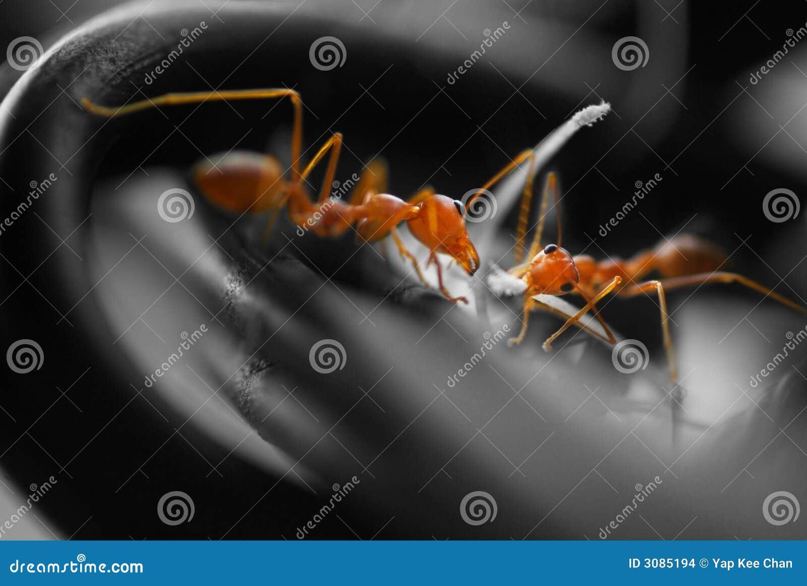 Canalisations de raccordement occupées de fourmis