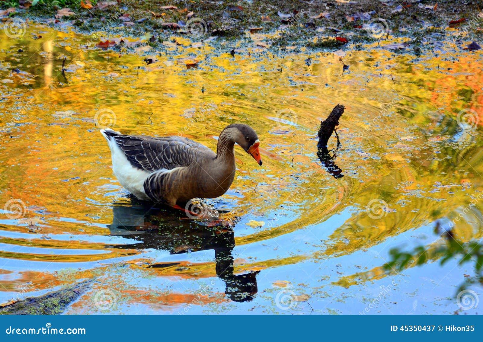 Canard d Autum