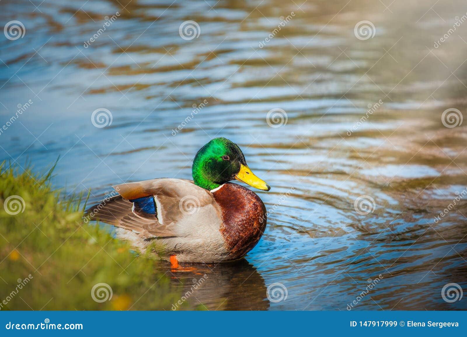 Canard dans l eau