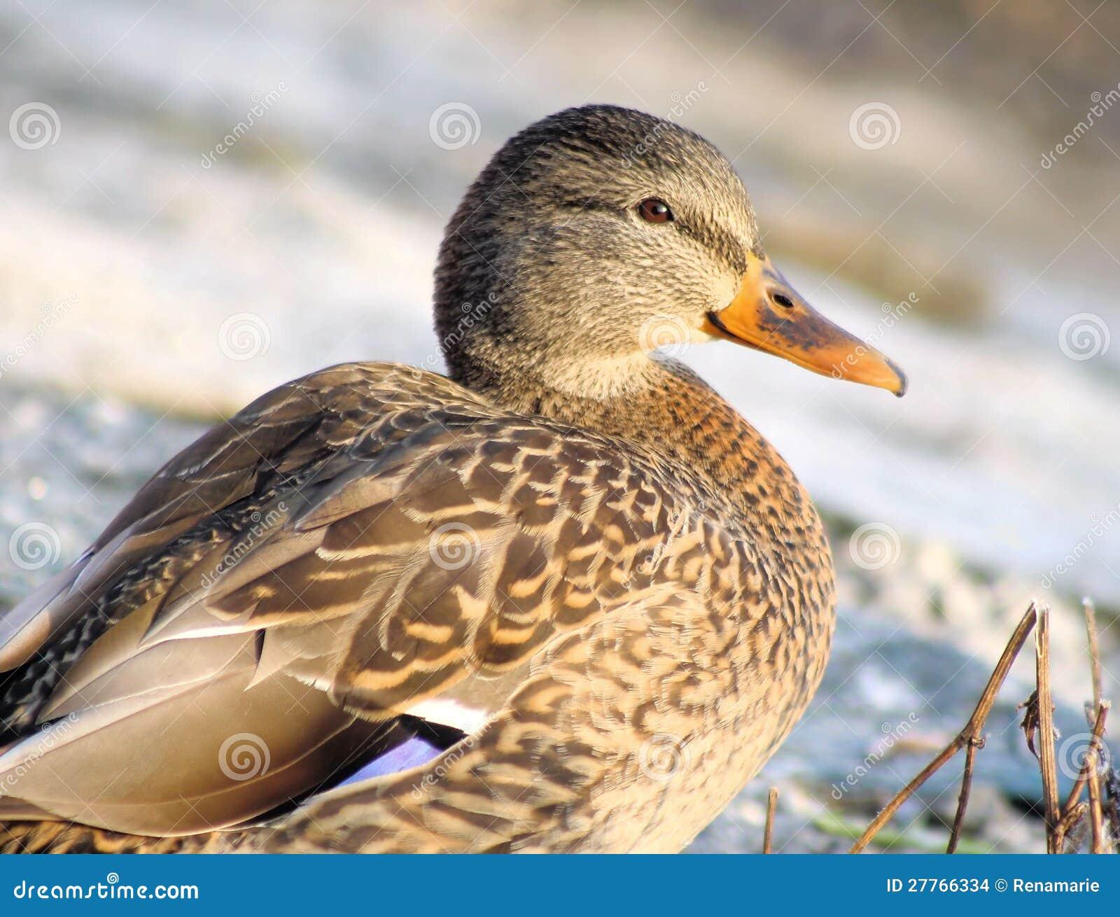 Canard de colvert
