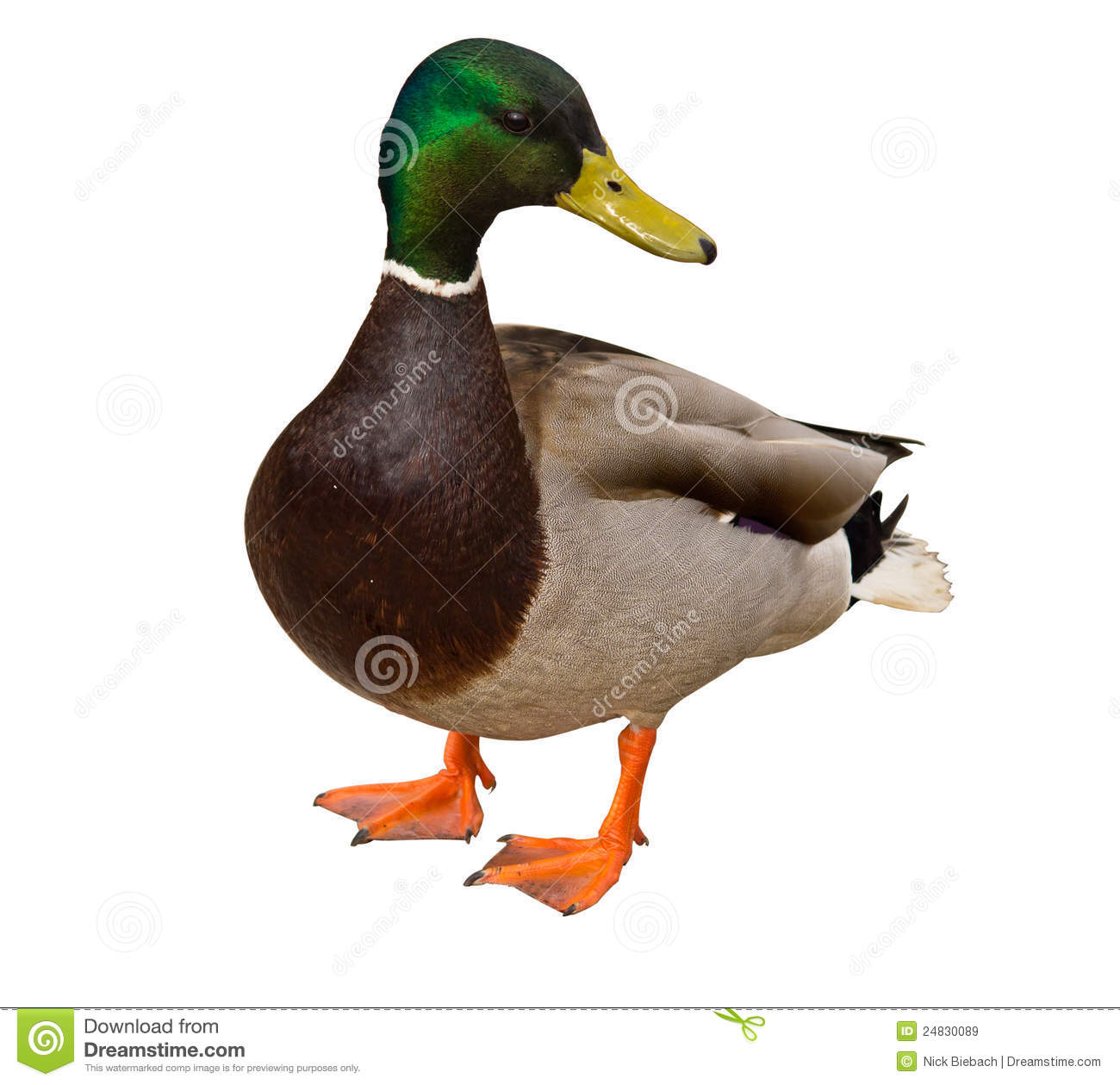 Canard de colvert sur le fond blanc photos stock - Illustration canard ...