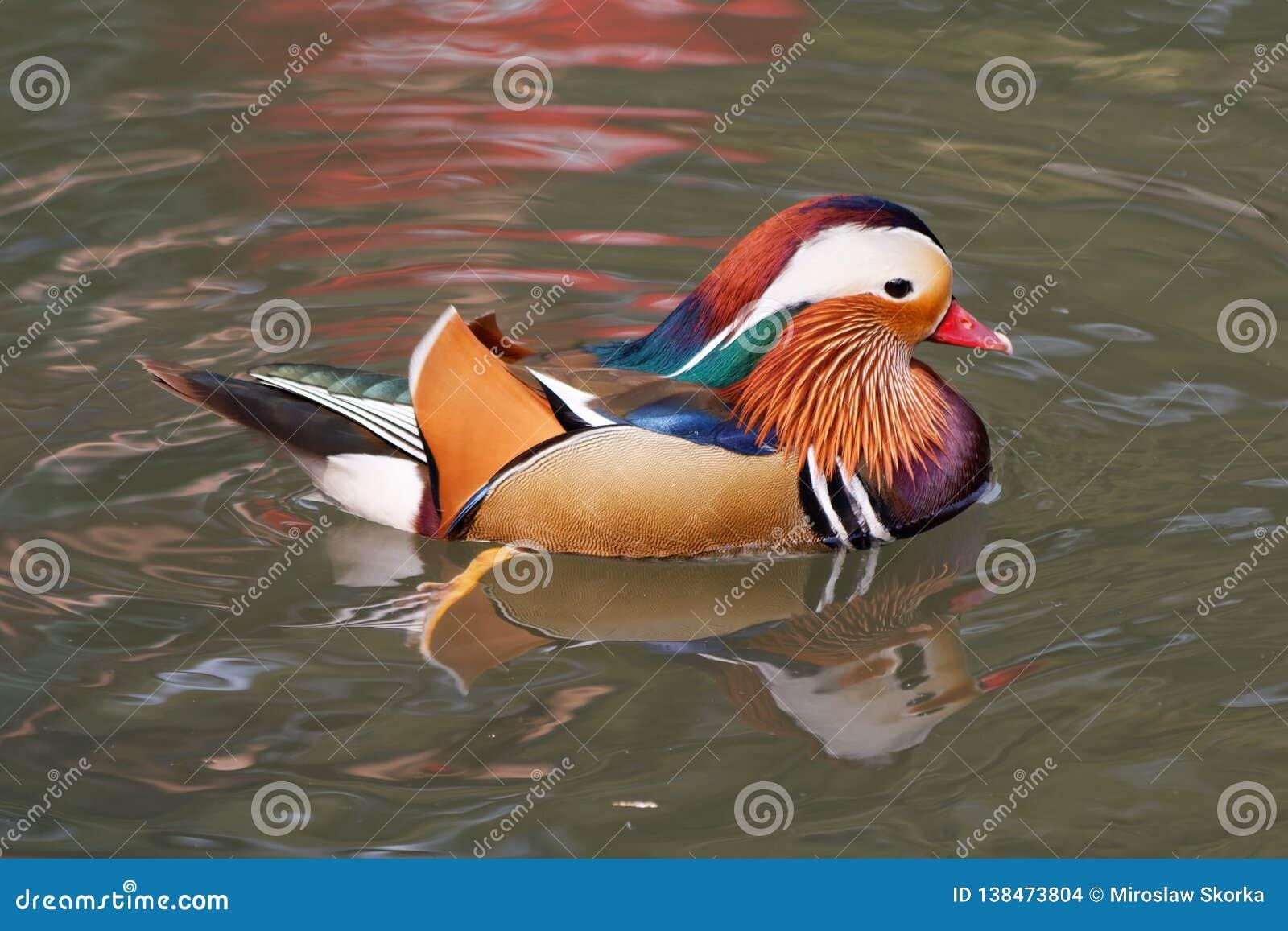 Canard de mandarine sur un étang 1