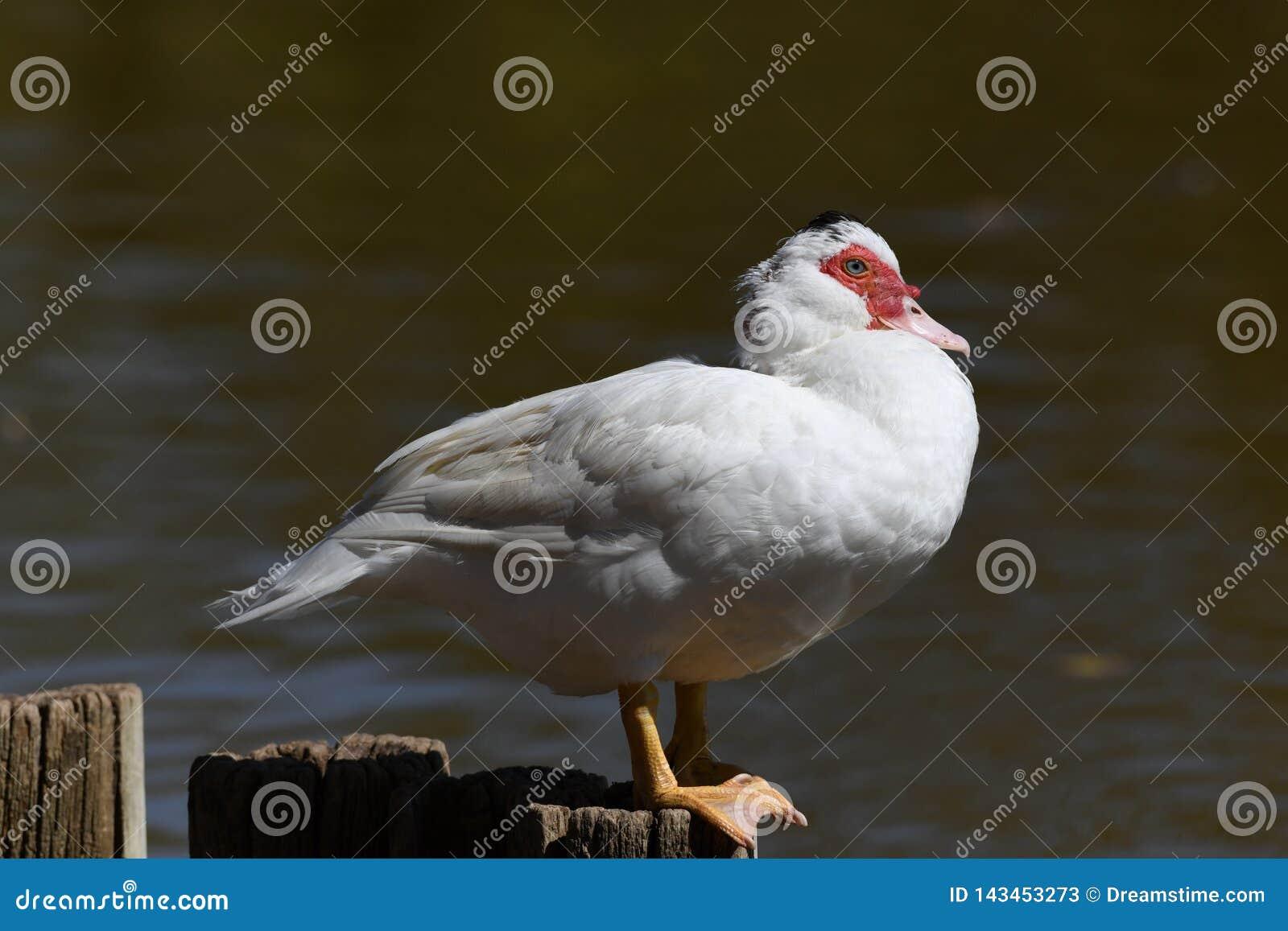 Canard de Muscovy sur le poteau au soleil