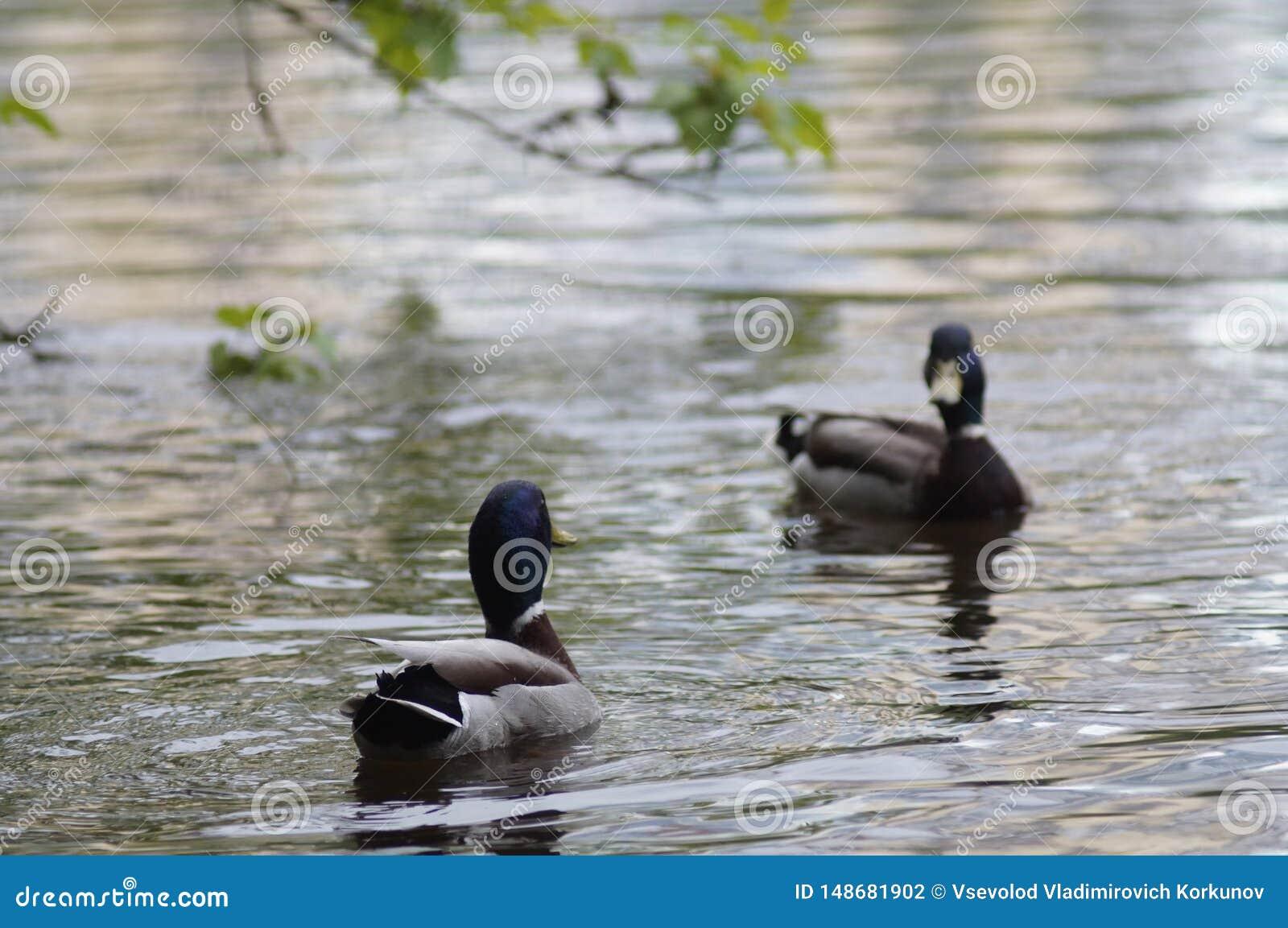 Canard de canard sauvage sur un ?tang de ville ? Iekaterinbourg Russie