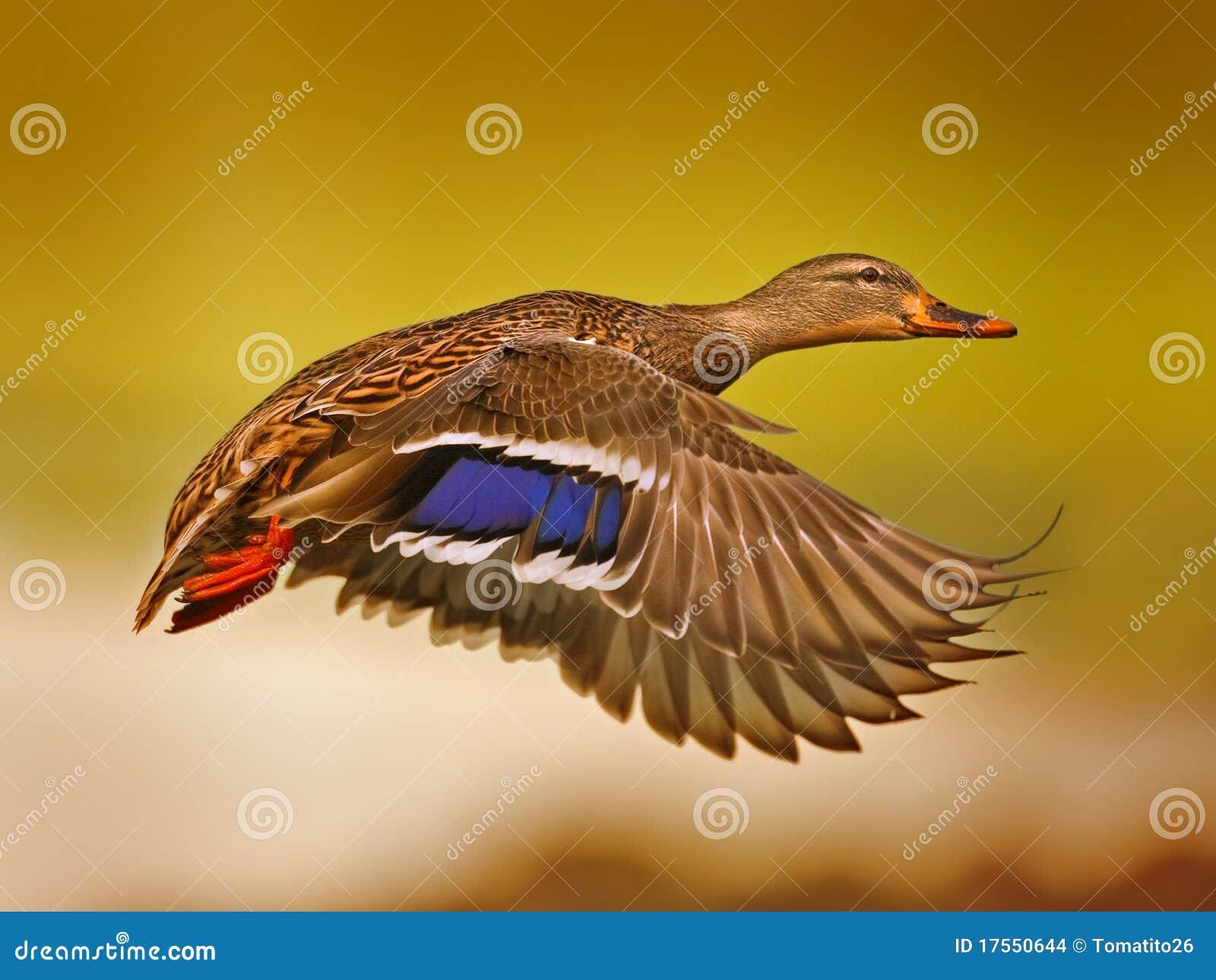 Canard de vol