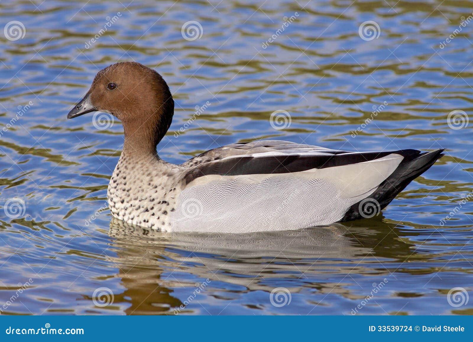 Canard en bois australien images stock image 33539724 for Architecture canard