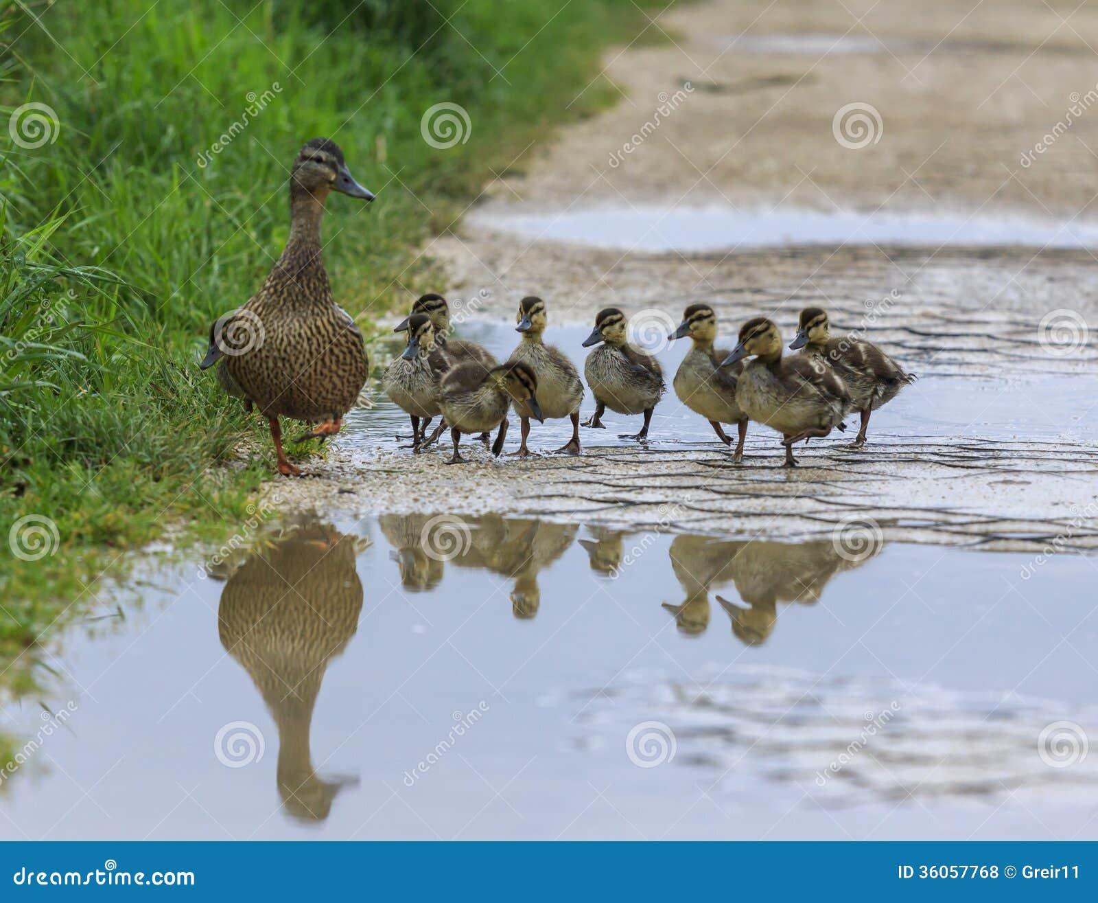 Canard et avec des canetons croisant un chemin