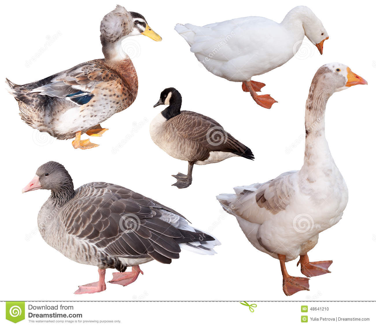 Canard et oie photo stock image 48641210 for Architecture canard