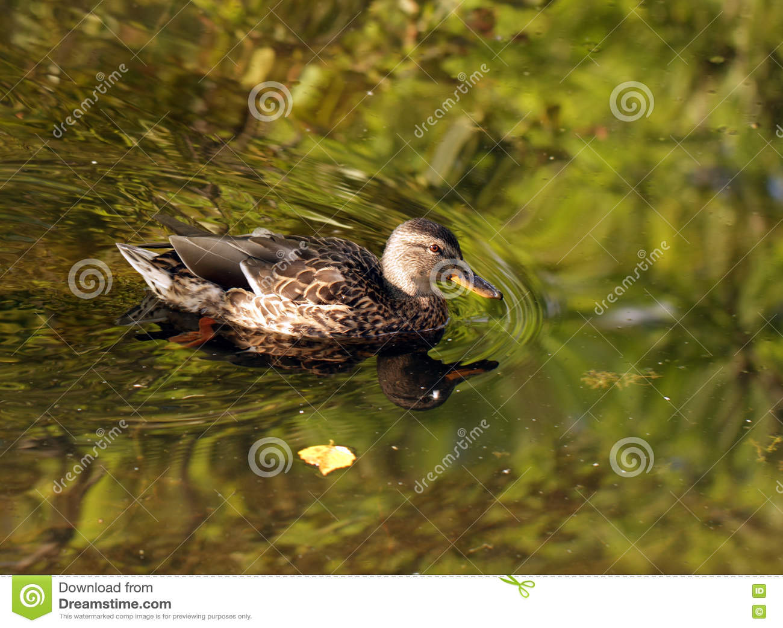 Canard femelle sauvage