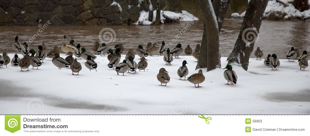 Download Canard froid image stock. Image du glace, faune, rester - 56903