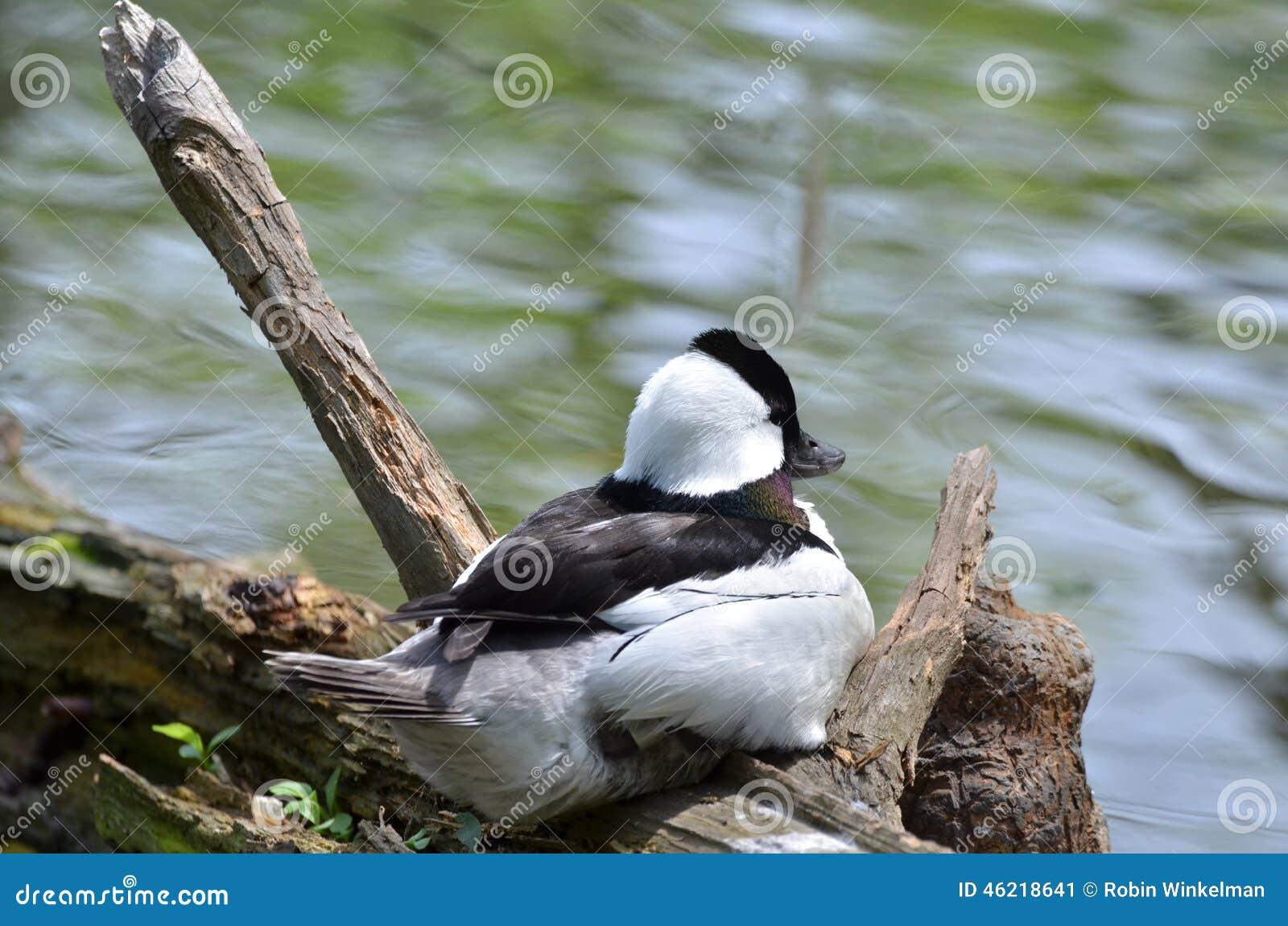canard noir et blanc image stock image du canard gris. Black Bedroom Furniture Sets. Home Design Ideas