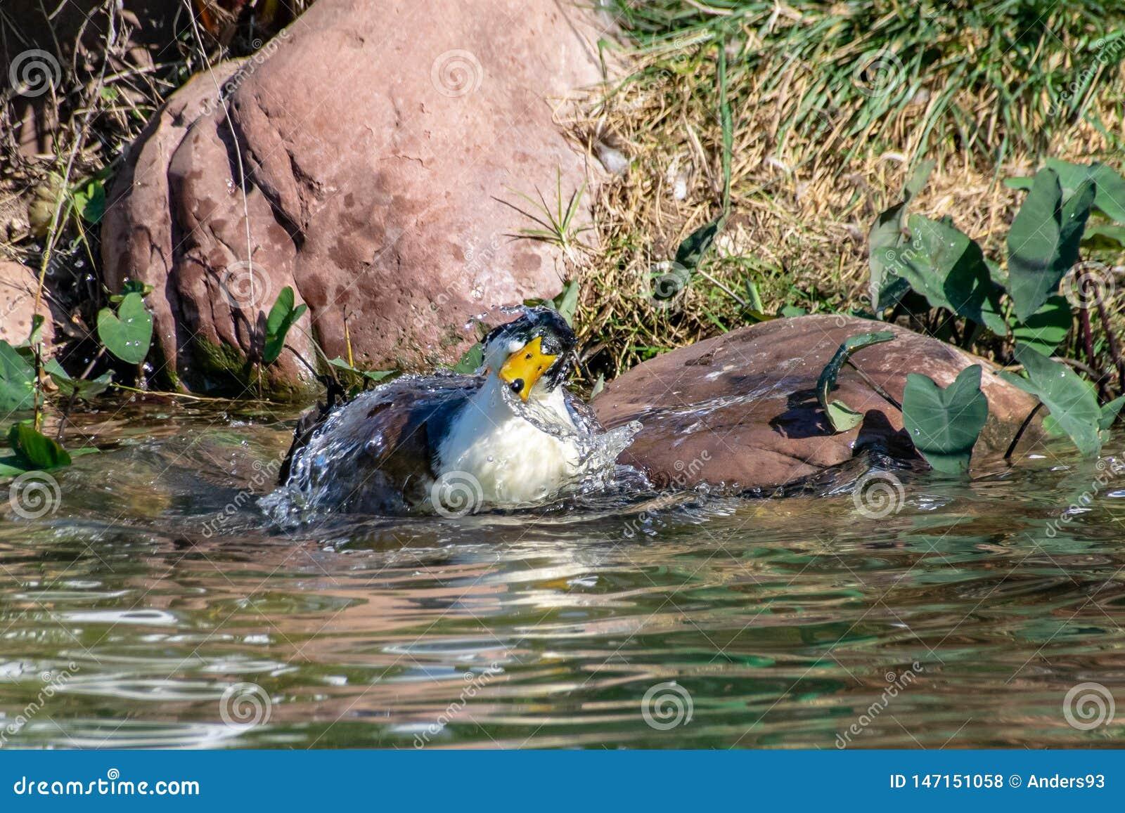 Canard plumage de plume ?claboussant, de lisser et nettoyer dans un lac