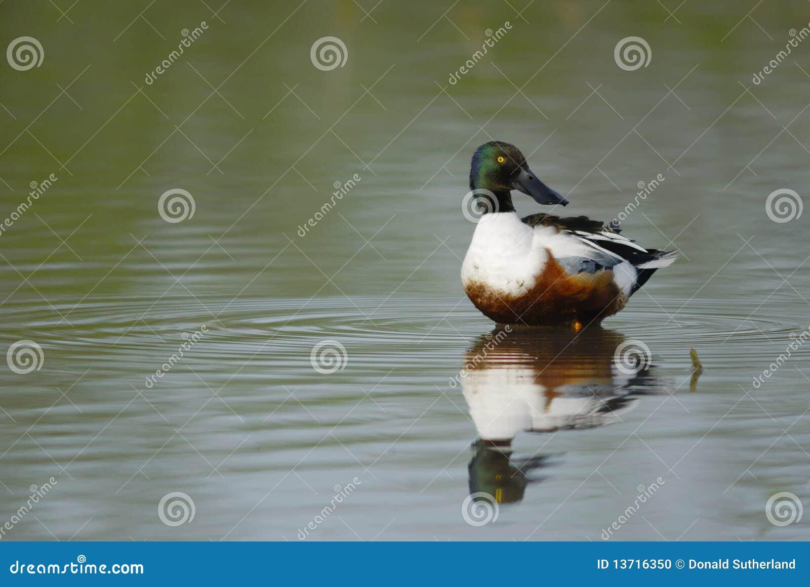 Canard souchet nordique (clypeata d ana)