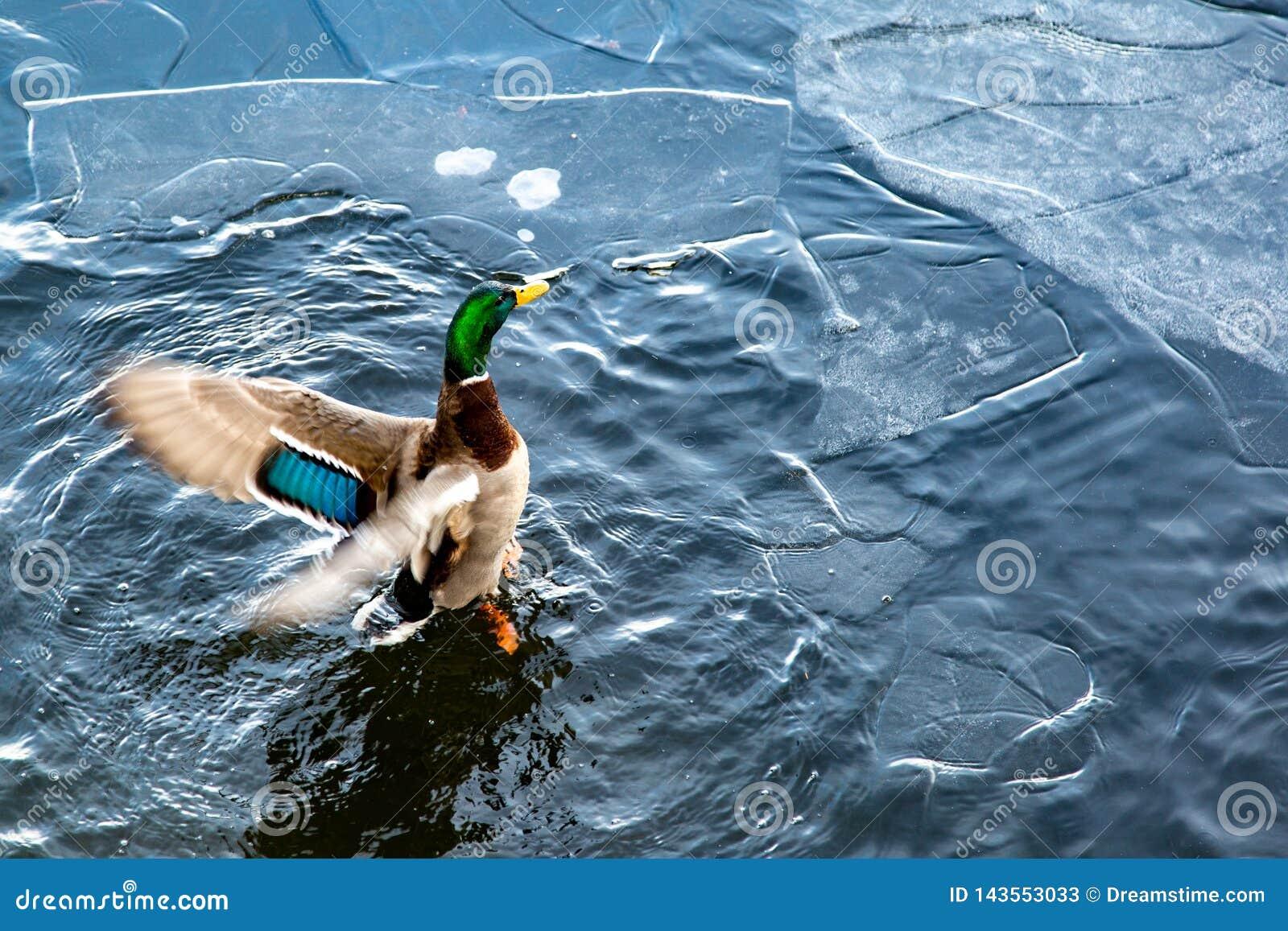Canard sur l eau