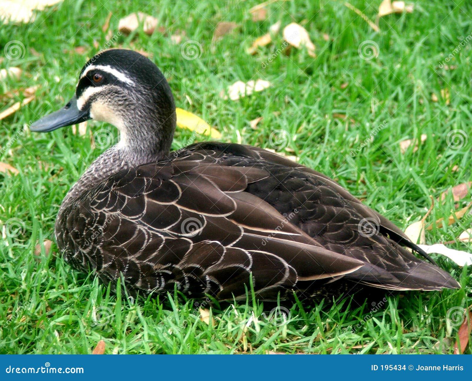 Canard sur la pelouse