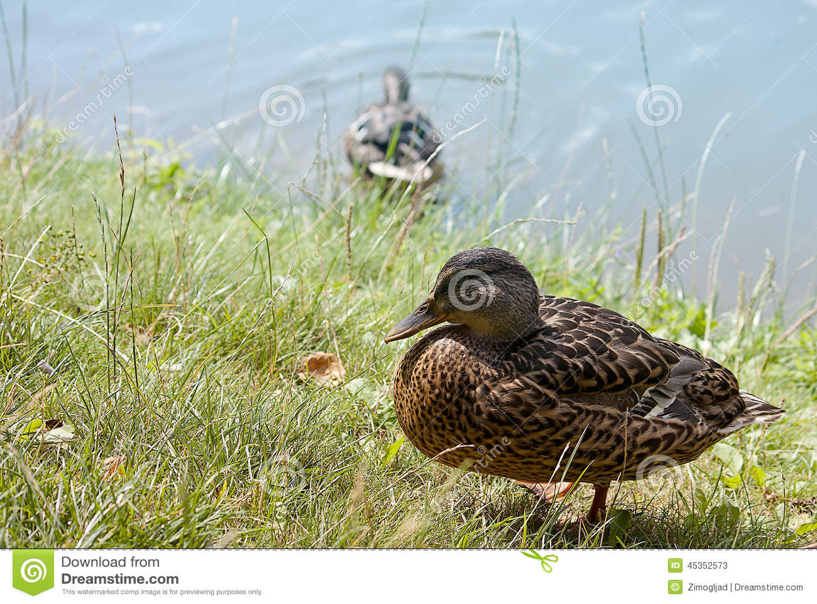 Canard sur le rivage