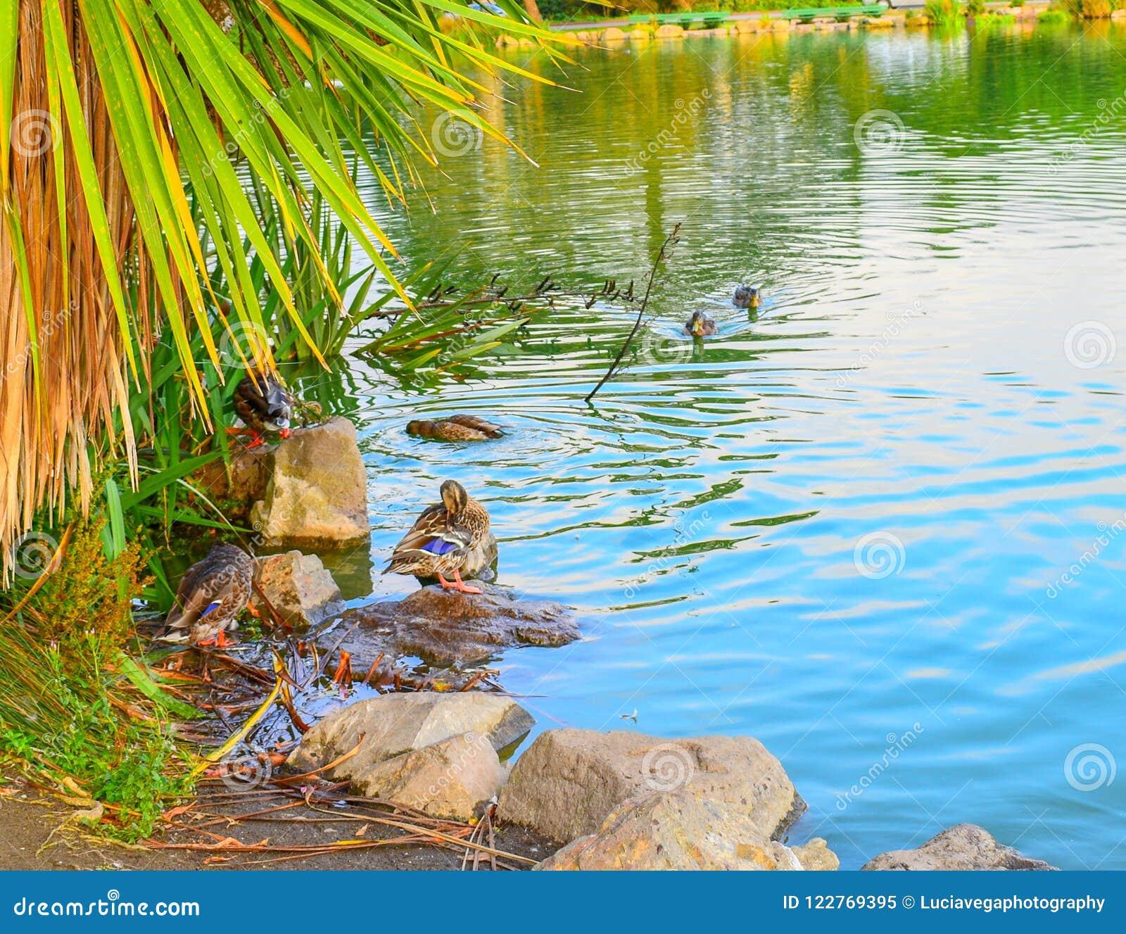 Canard vibrant de couleurs dans un étang