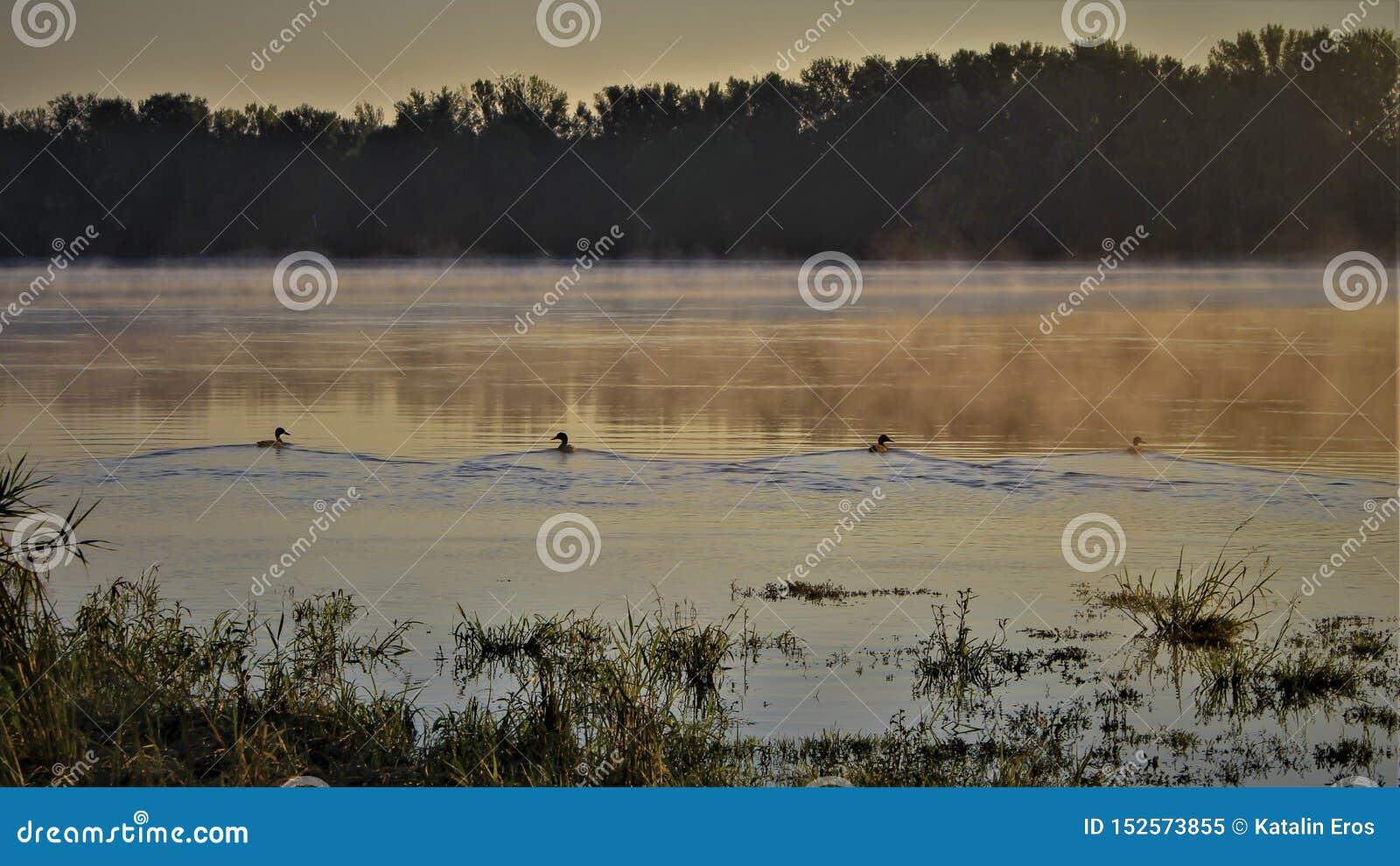 Canards à l aube