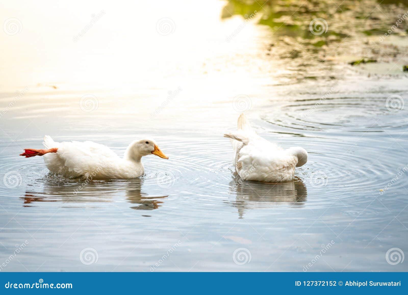 Canards blancs de couples sur un lac de l eau Américain Pekin qu il dérive des oiseaux apportés aux Etats-Unis de Chine dans la d