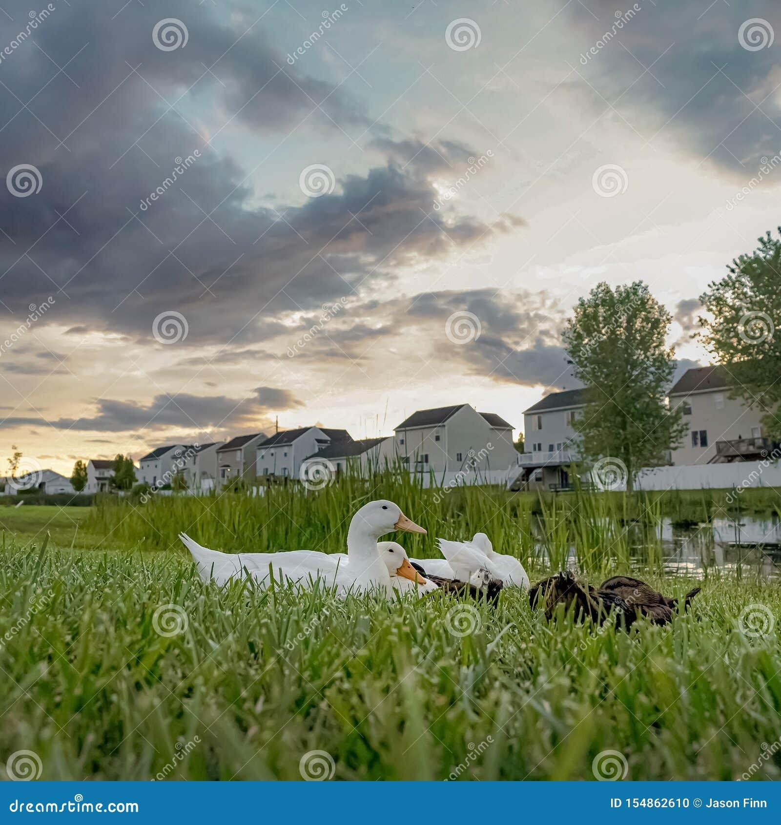 Canards carrés près d un étang parmi le vaste terrain herbeux avec les maisons blanches à l arrière-plan