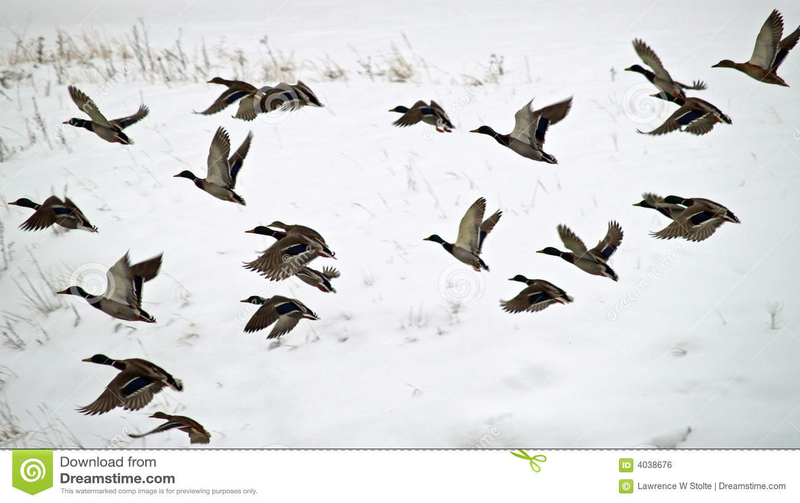 Canards en vol