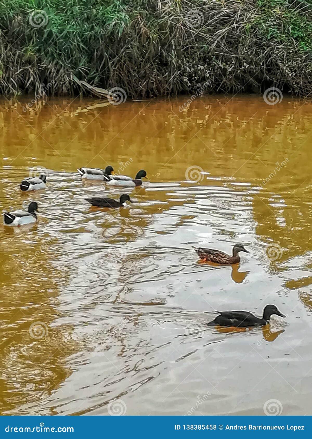 Canards nageant en rivière de l arrangement naturel du caillot