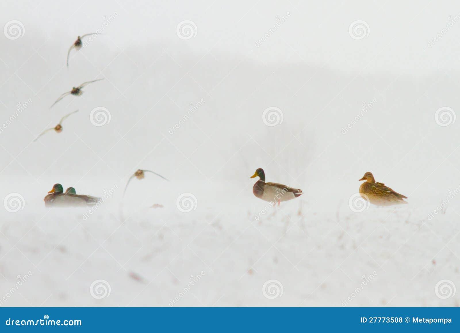 Canards se reposant dans la tempête de neige