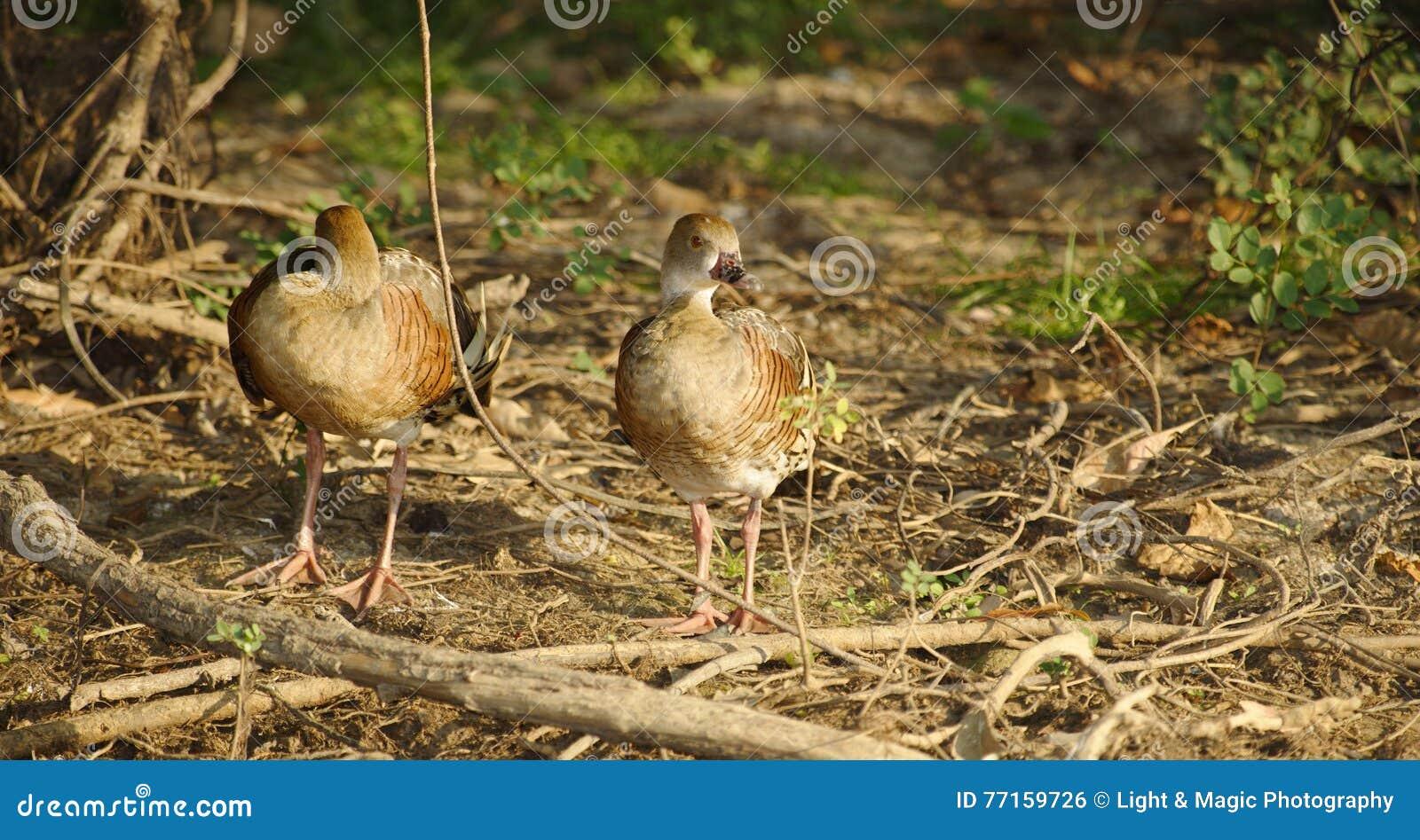 Canards siffleurs errants, Australie