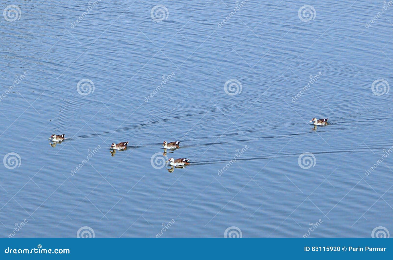 Canards Tache-affichés au lac Randarda, Rajkot, Inde
