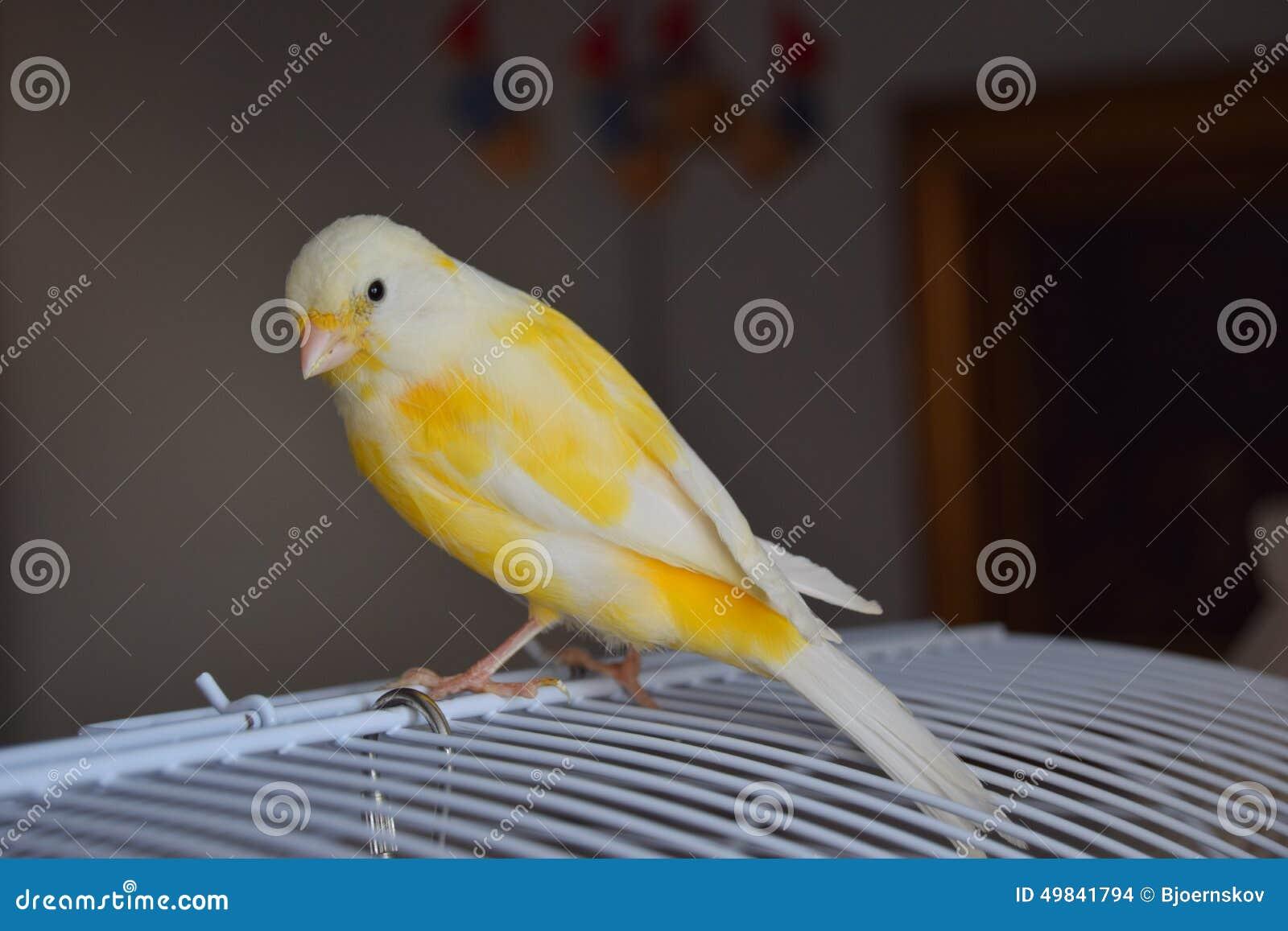 Canarino dorato