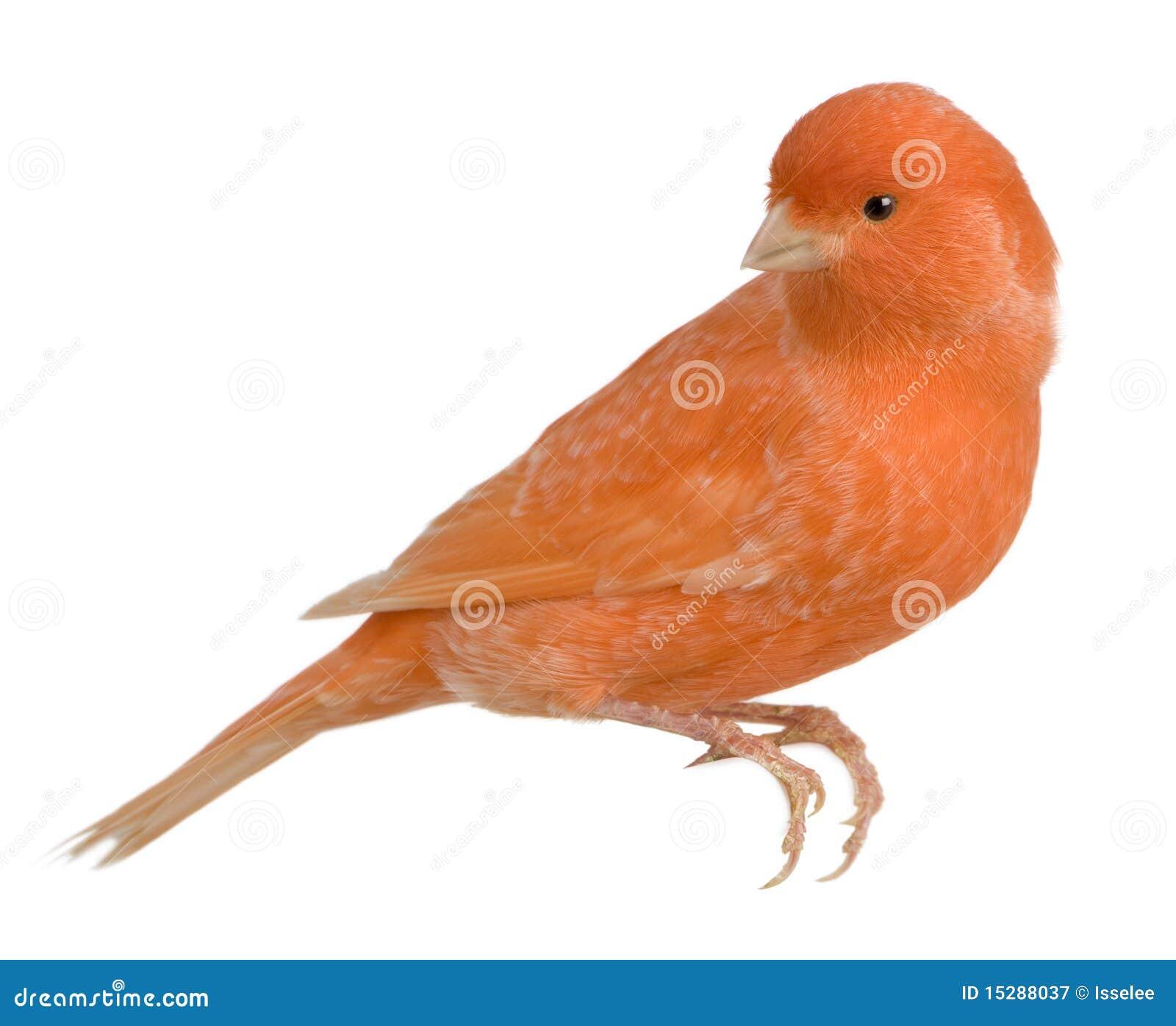 Canarino rosso, Serinus canaria, appollaiato