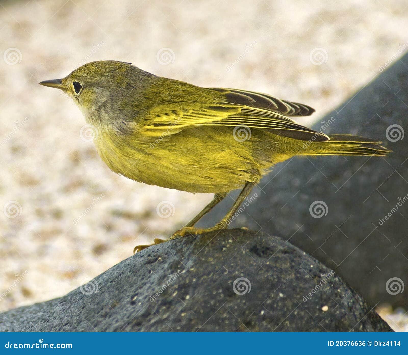 Canario de las Islas Gal3apagos