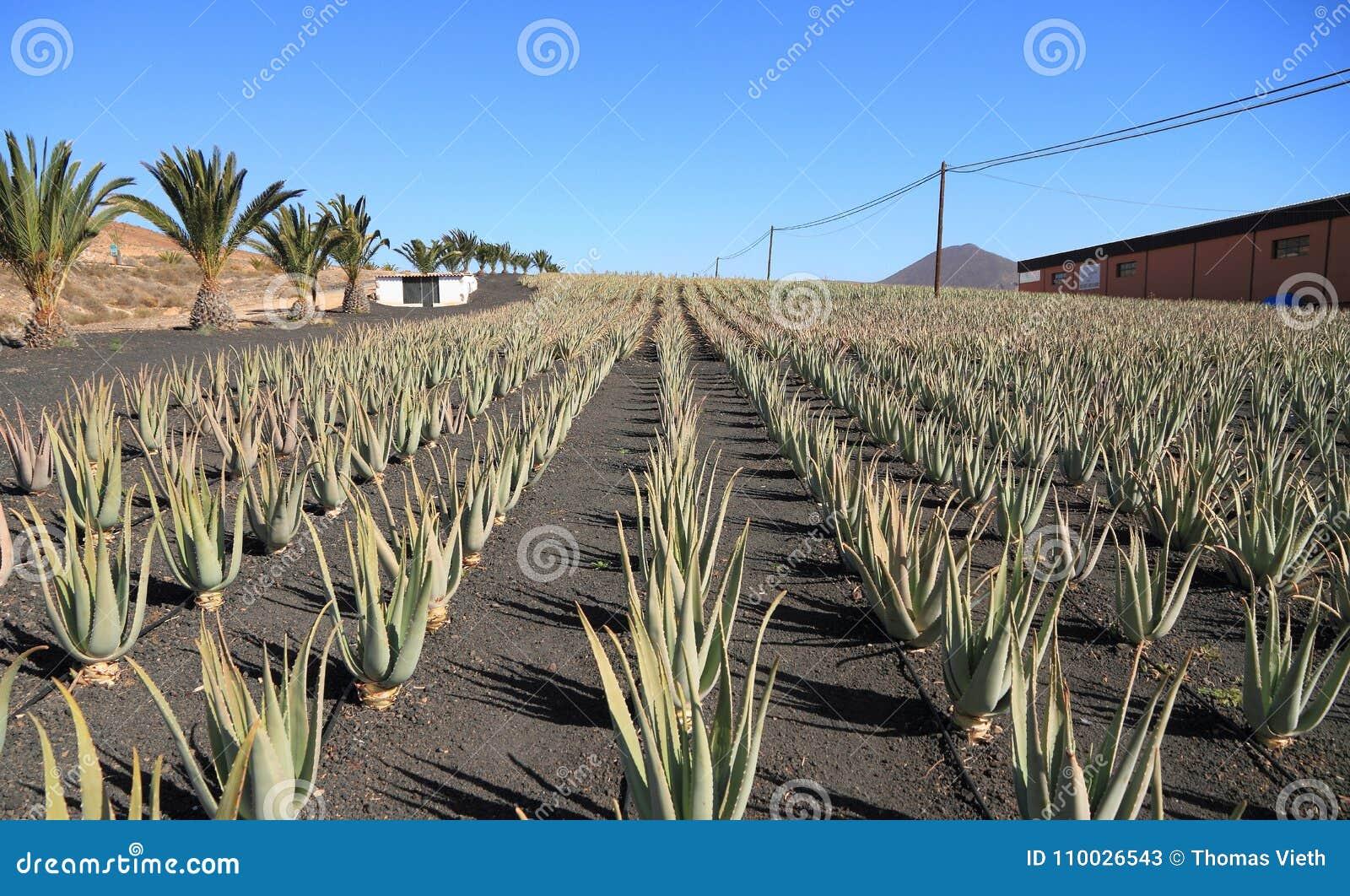 Canarische Eilanden, Fuerteventura: Aloë Vera Plantation met Verwerkingsinstallatie