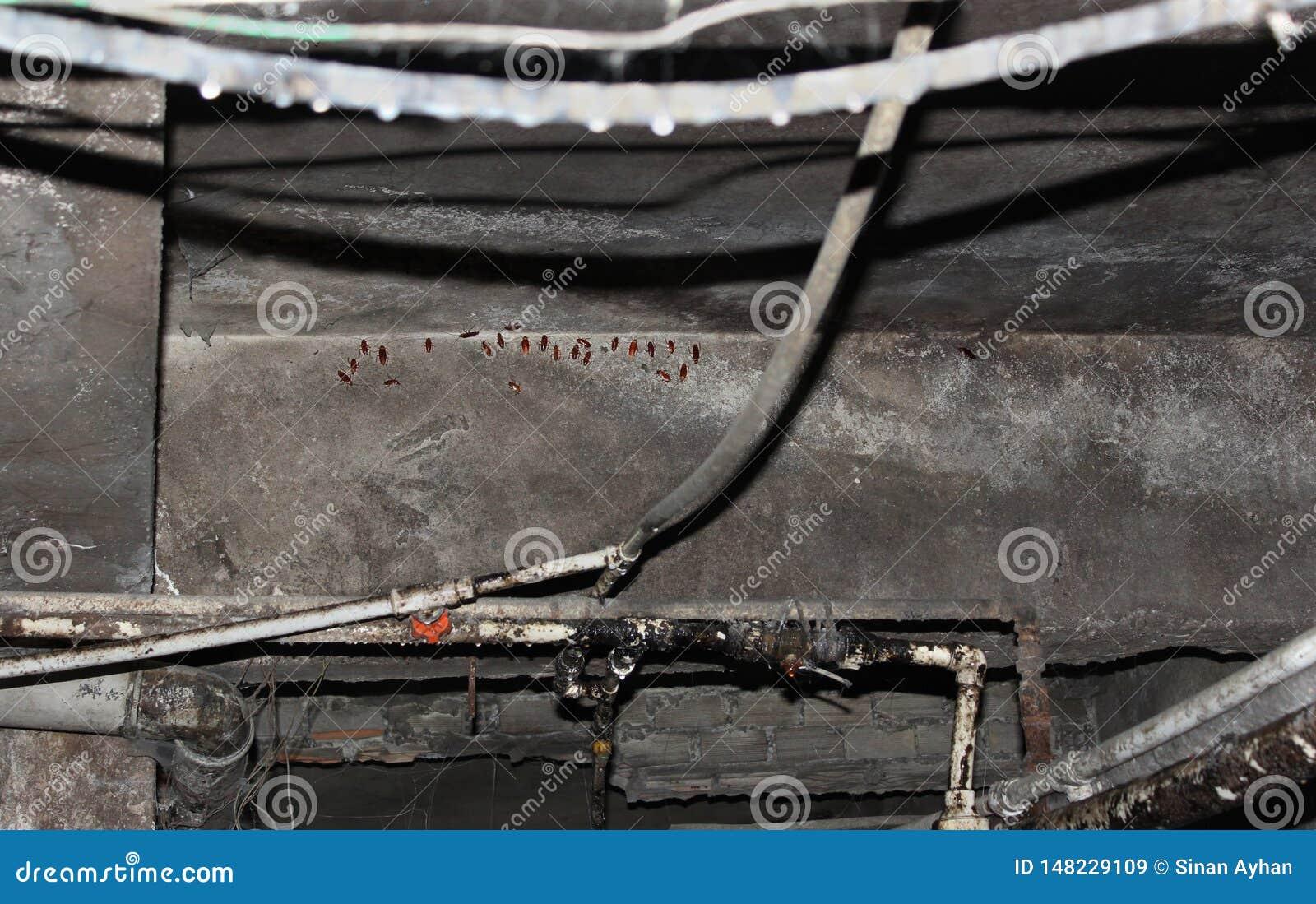 Cancrelat de parasite se reposant sur le mur de sous-sol