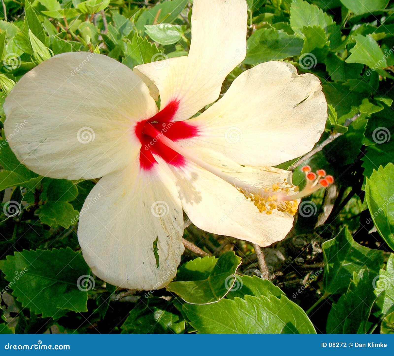 Cancun Lily