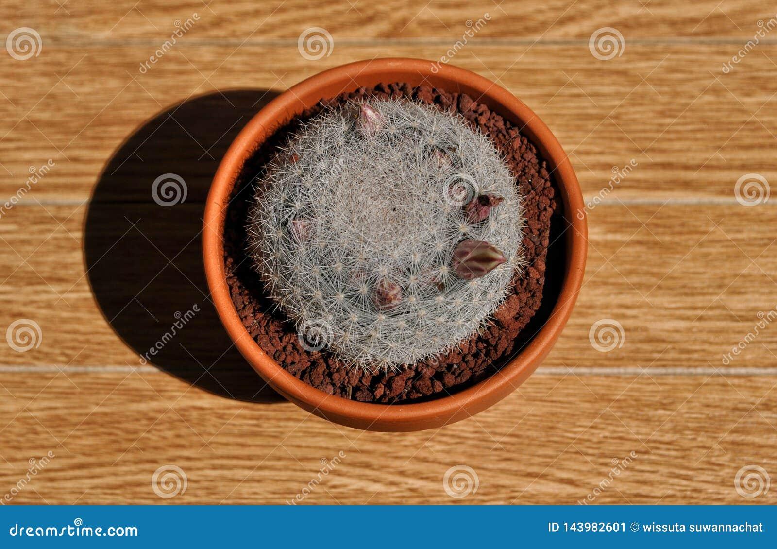 Candida do Mammillaria em um potenciômetro