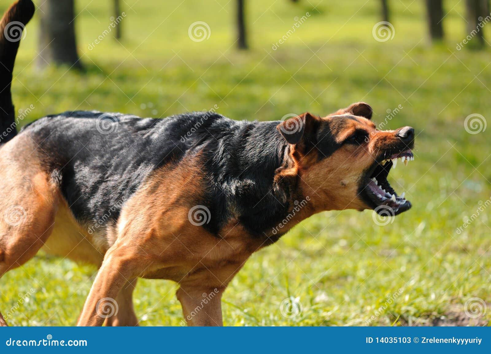 Cane arrabbiato con i denti scoperti