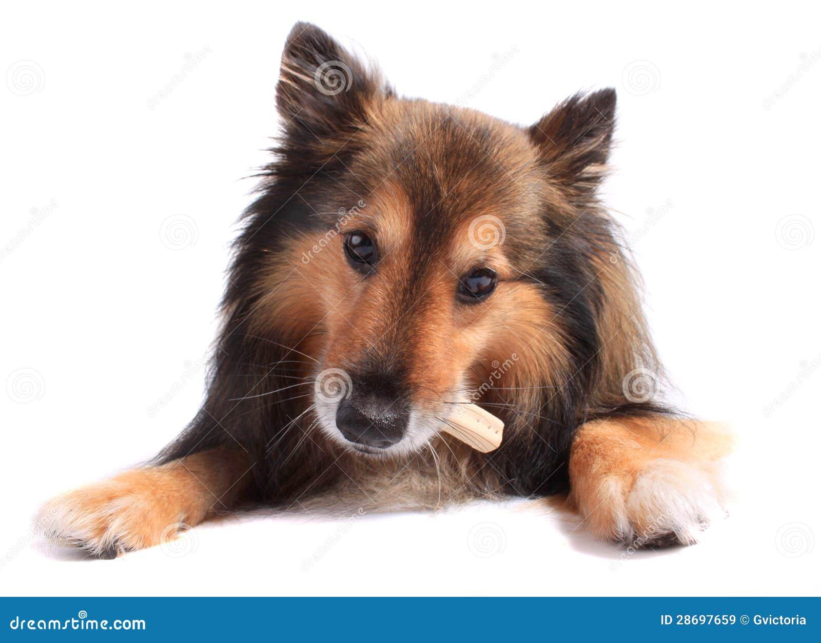 Cane che mangia ossequio o osso immagine stock immagine 28697659 - Cane che mangia a tavola ...