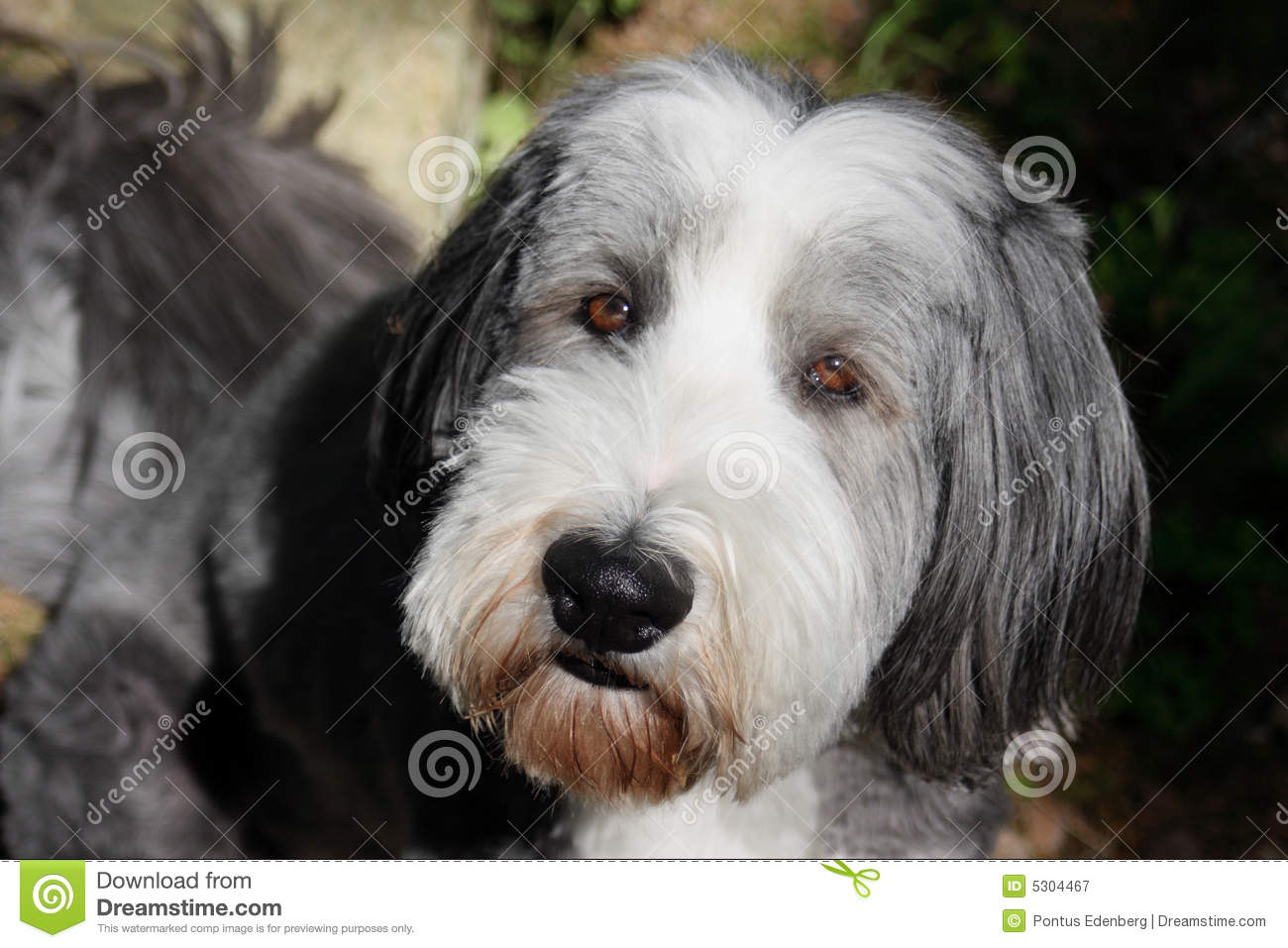 Download Cane, collie barbuto immagine stock. Immagine di sheepdog - 5304467