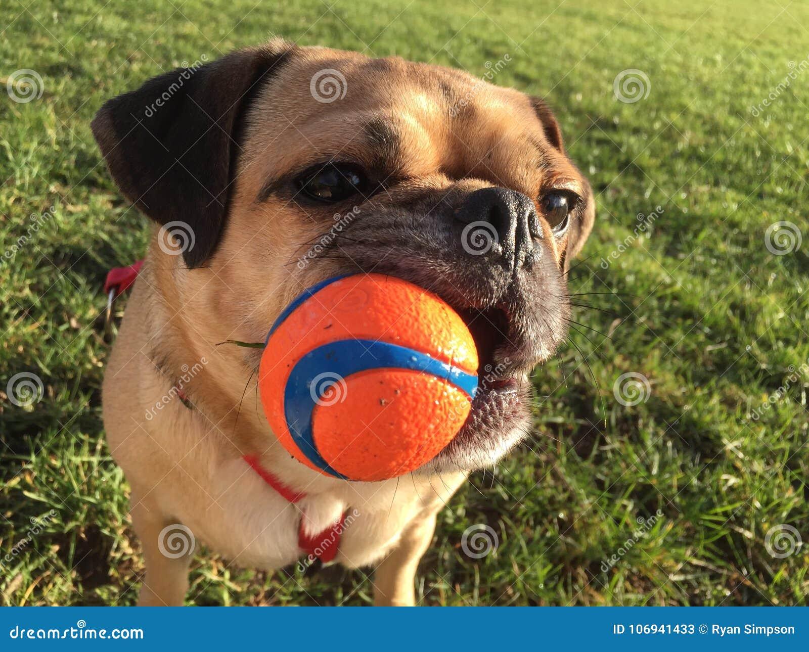 Cane con la palla in bocca