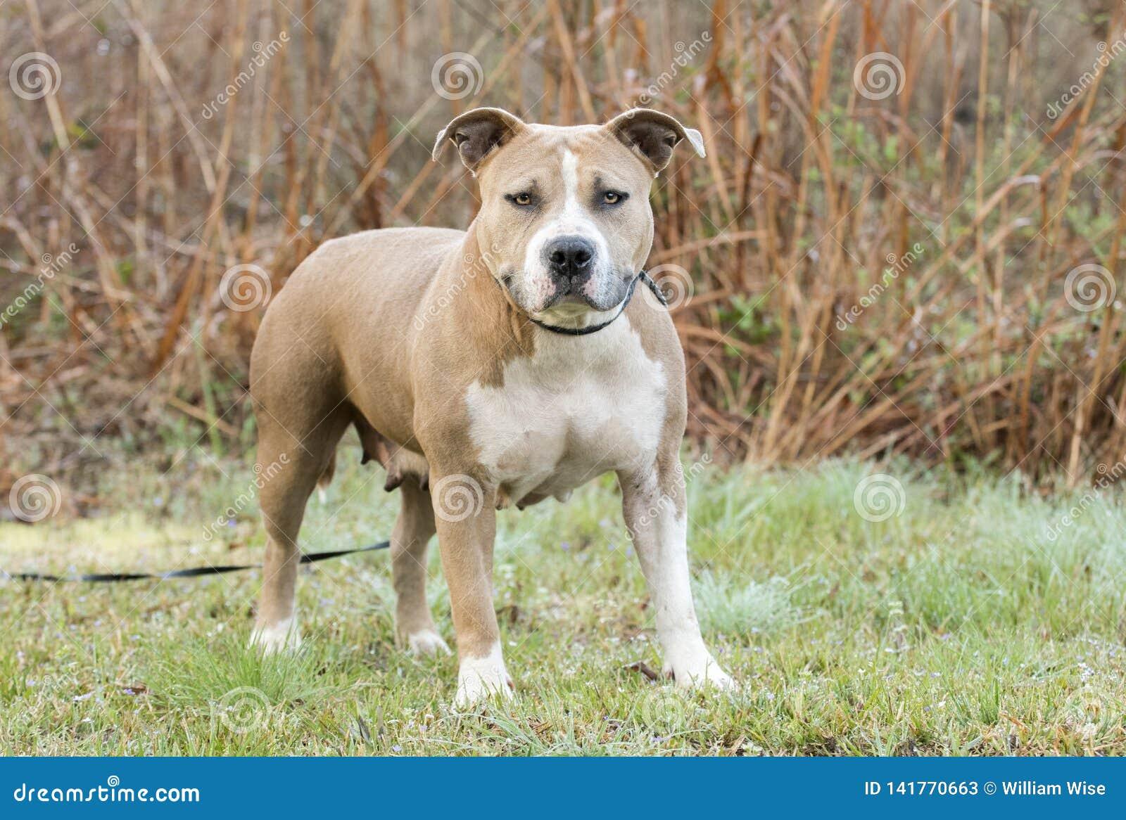 Cane corpulento del pitbull terrier di Staffordshire americano