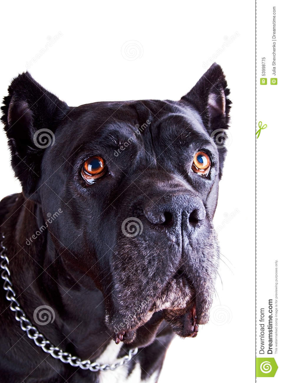 Cane Corso Dog Closer Look