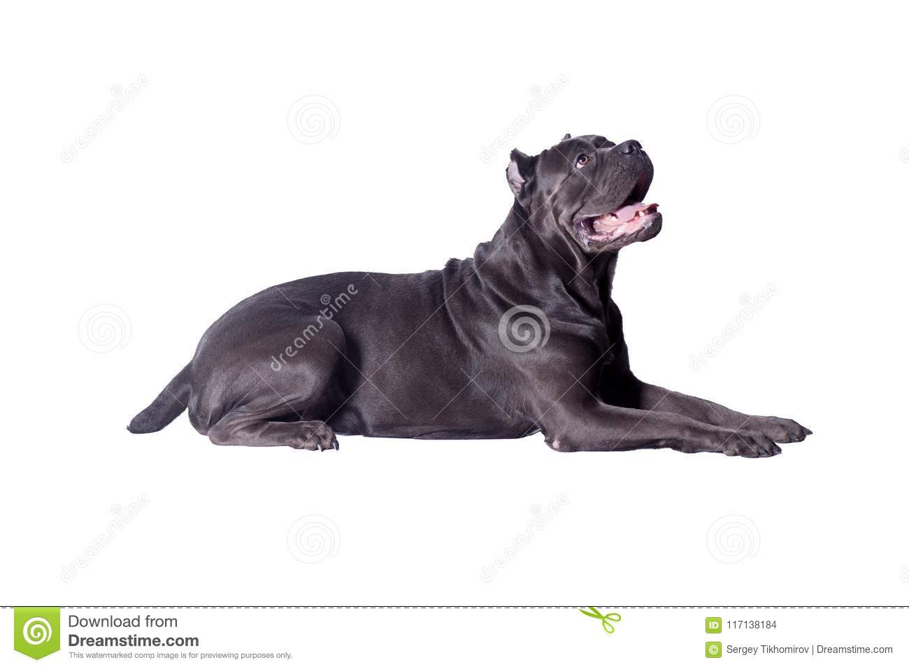 Cane corso or italian mastiff isolated on a white background. Pet animals.