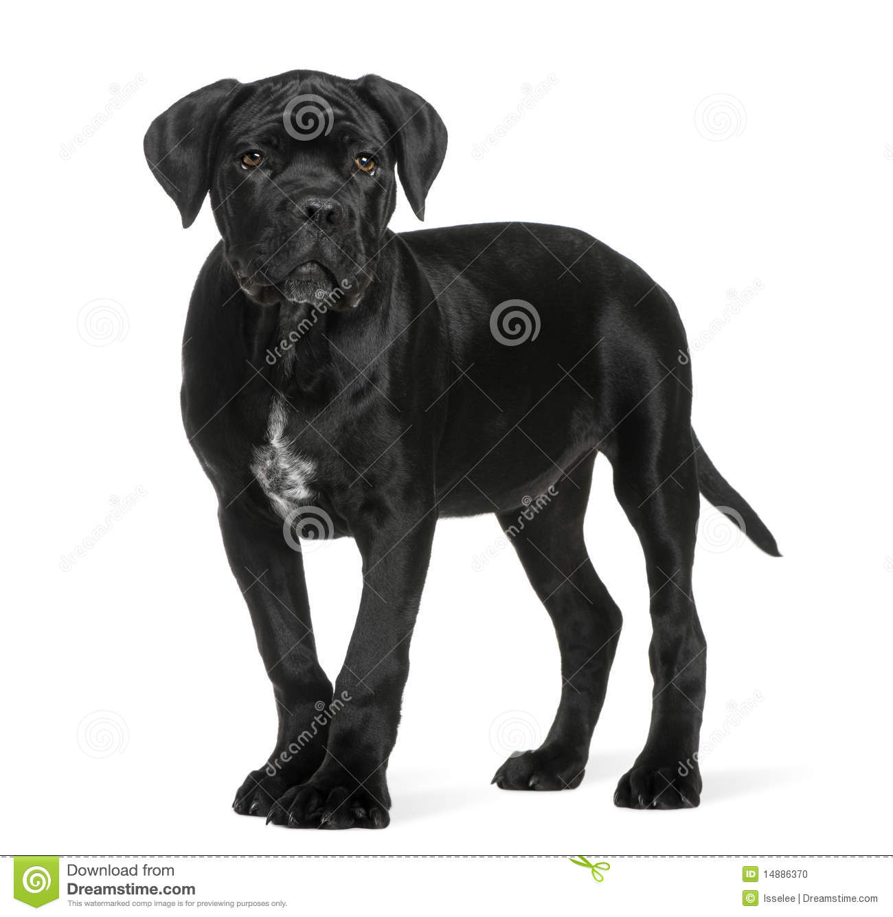 Cane Corso Puppy 3 Months Old Standing Stock Photo Image Of Full