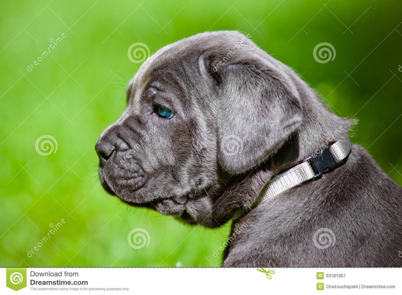 Cane corso puppy with blue Black Cane Corso With Blue Eyes