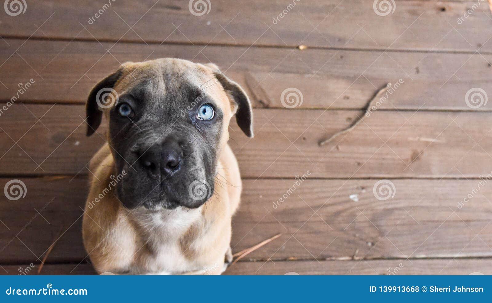 Cane Corso-puppy die omhoog met blauwe ogen kijken